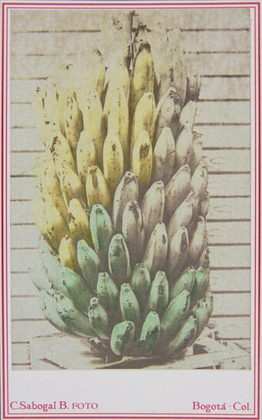 racimo de plátanos en emulsión a la sal y goma bicromatada